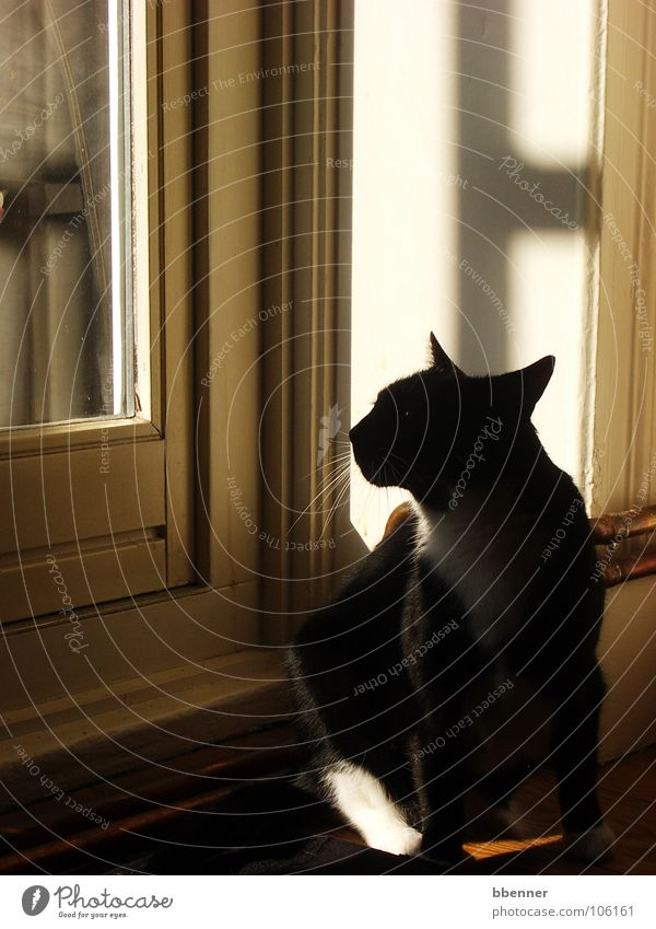 Black Cat' Window Silhouette Vantage point Moustache Mammal Shadow Door Profile White paw