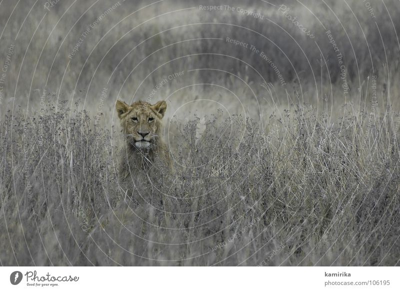Nature Cat Kenya Africa Wild animal Hunting Tansania Hide Lion Africans Safari National Park Camouflage Big cat Serengeti Massai