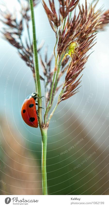 lucky beetle Summer Nature Plant Animal Beautiful weather Grass Beetle Ladybird 1 Crawl Small Near Natural Green Red Black Loneliness Freedom Happy ladybug