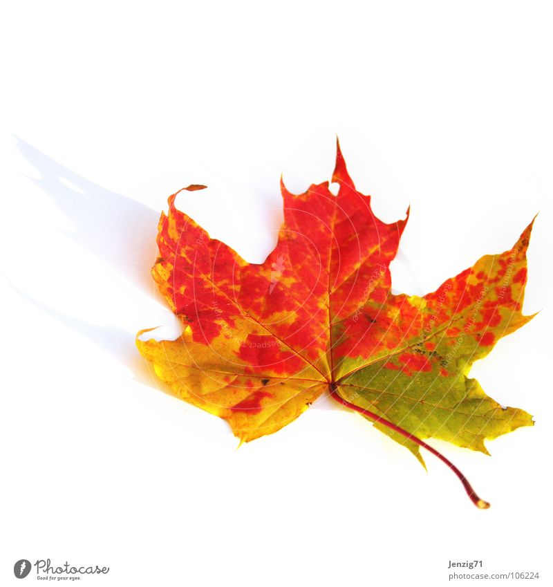 Summer's over. Leaf Tree Autumn Multicoloured Limp Maple tree Maple leaf Park Deciduous tree To fall Colour Autumnal