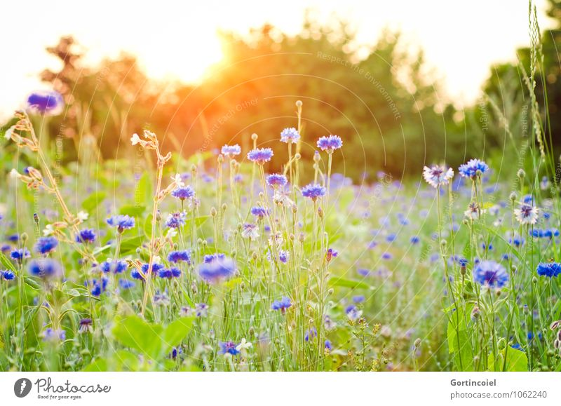 If only tomorrow were summer already... Environment Nature Plant Sun Sunrise Sunset Sunlight Summer Tree Flower Grass Meadow Field Beautiful Warmth Cornflower