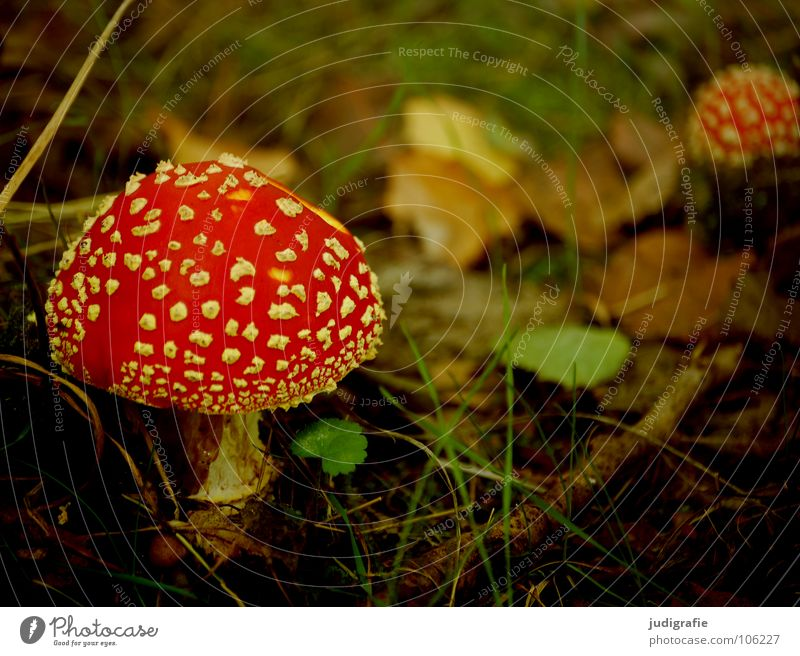 Autumn Colour photo Exterior shot Day Environment Nature Plant Grass Leaf Roof Umbrella Natural Red Poison Enchanted forest Woodground Dappled Mushroom Twig