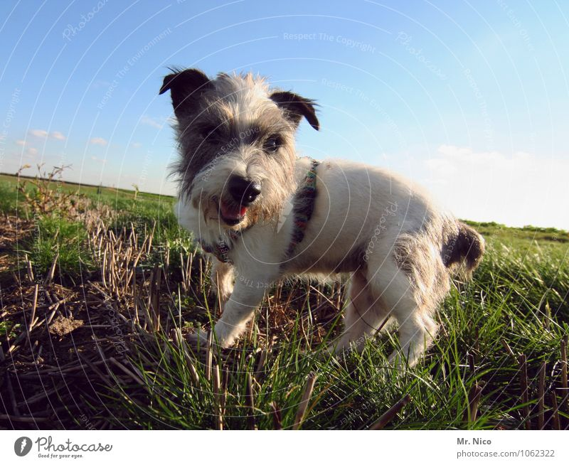 ne möpp Environment Nature Landscape Cloudless sky Beautiful weather Grass Meadow Field Pet Dog Small White Speckled Pelt Jack Russell terrier Crossbreed