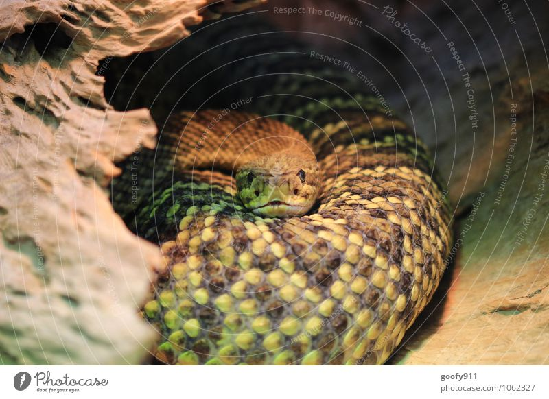 Look me in the eye Animal Wild animal Snake Scales Zoo 1 Contentment Stagnating Colour photo Exterior shot Close-up Day Shallow depth of field Long shot