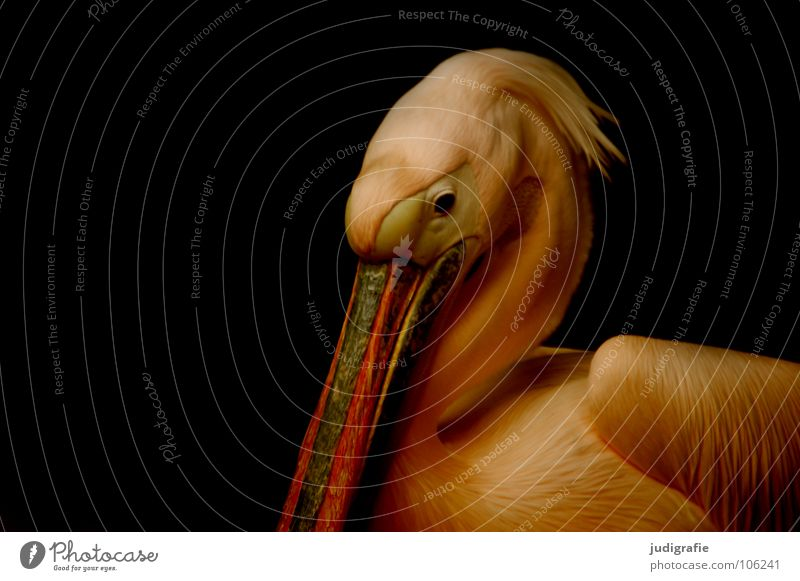 Beautiful Calm Animal Eyes Colour Sadness Bird Elegant Grief Feather Wing Soft Zoo Captured Beak Pelican