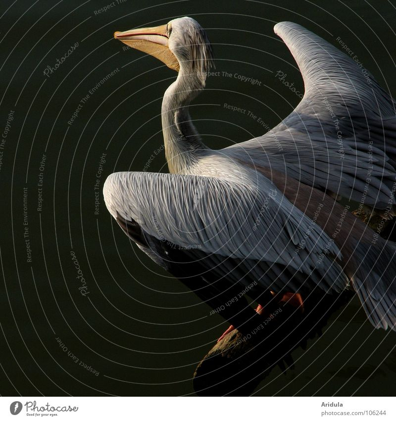 Nature Water Beautiful White Animal Lake Bird Flying Feather Wing Beak Pelican