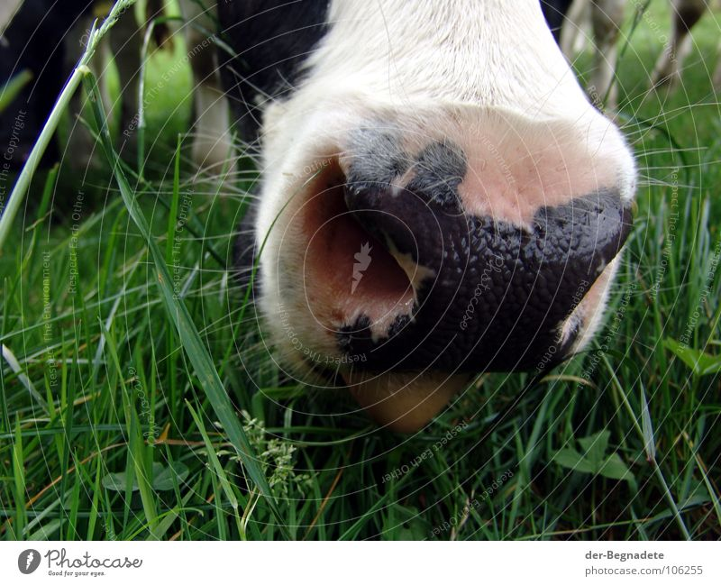 jaw Meadow Agriculture Cow Cattle Milk production Farm Grass Pasture Pelt Green Sauerland Animal Livestock Breath To feed Curiosity Mammal pasture farming