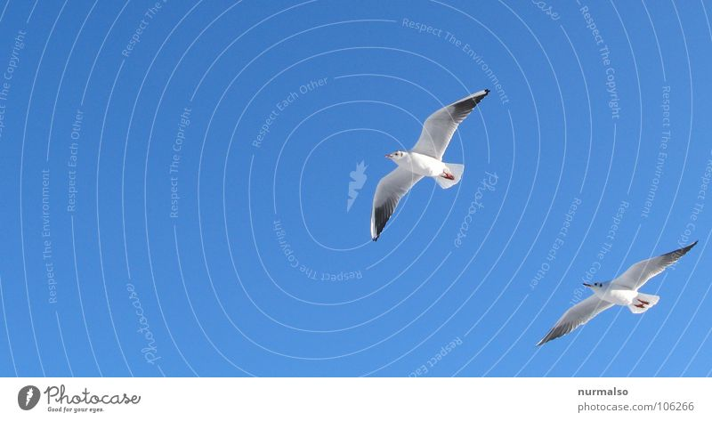 White Blue Beach Above Freedom Together Bird Coast Pair of animals Flying In pairs Forwards Feces Sailing Seagull