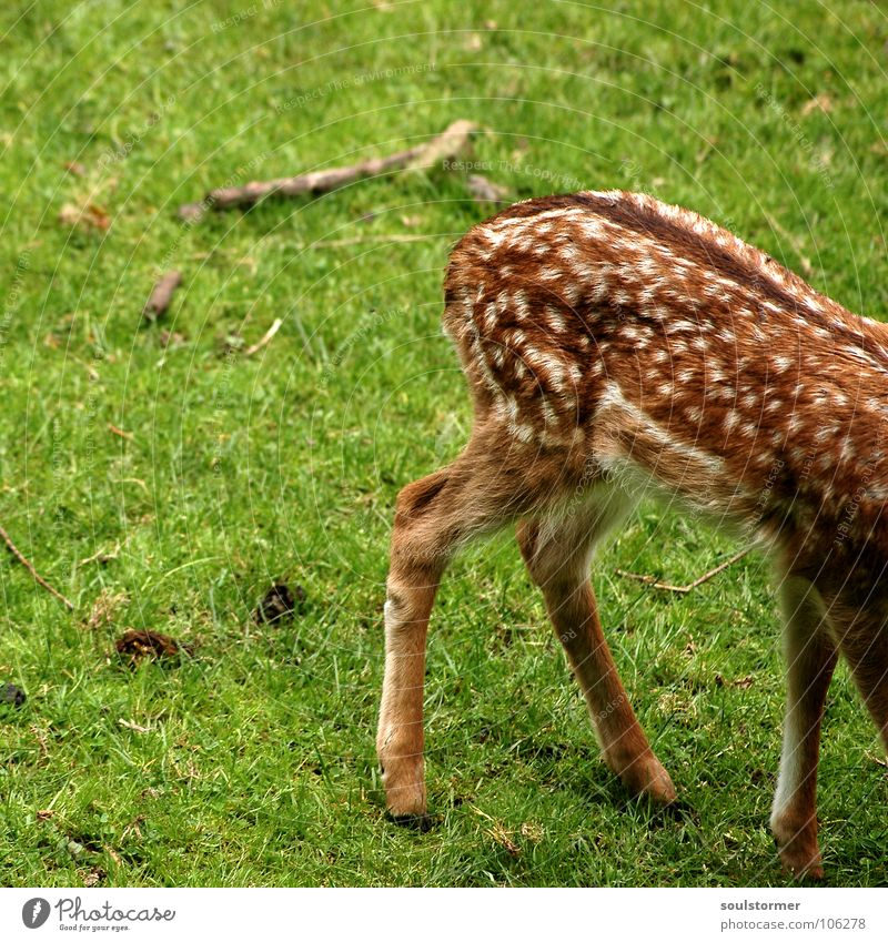 Small game butt PictureNo150!!! Roe deer Deer Fresh Meadow Field Clearing Hallway Blade of grass Grass Green Brown White Fawn Hoof Hind quarters Tails Mammal