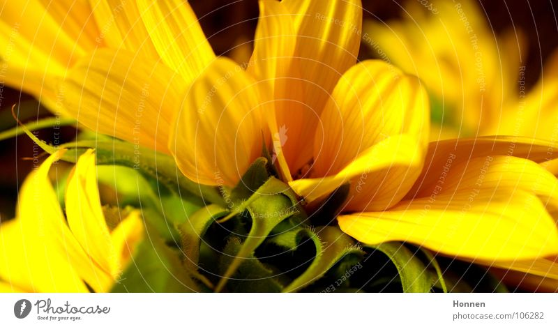 Nature Beautiful Plant Summer Black Yellow Dark Field Growth Harvest Sunflower Oil Seed Kernels & Pits & Stones Biology Vase