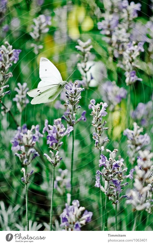 Soon again! Environment Nature Plant Animal Summer Beautiful weather Lavender Garden Butterfly cabbage white 1 Esthetic Natural Blue Green Emotions