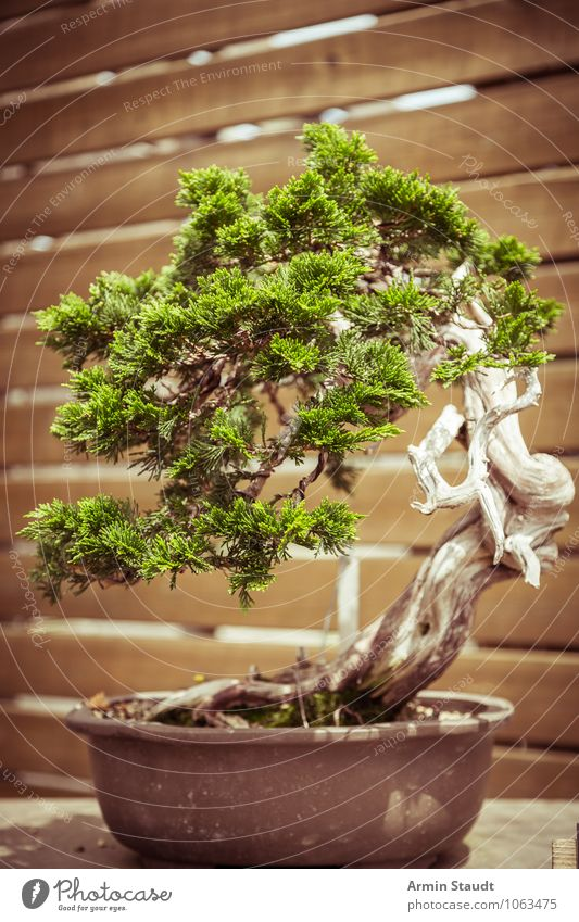 BONSAI! Design Exotic Craft (trade) Culture Nature Plant Tree Old Growth Esthetic Exceptional Natural Retro Brown Green Moody Passion Patient Effort Eternity