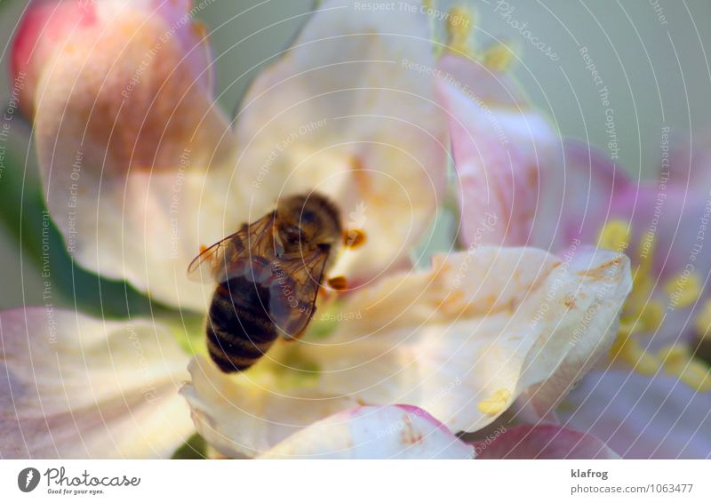 Bee placid 1/4 Animal Spring Tree Blossom Garden Park Meadow Field Forest Running To hold on Flying To feed Feeding Carrying Authentic Brash Rebellious Speed