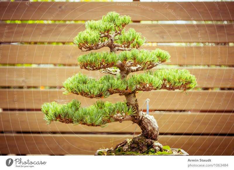 BONSAI! Design Exotic Craft (trade) Culture Nature Plant Tree Old Growth Esthetic Exceptional Natural Brown Green Moody Passion Patient Senior citizen Effort