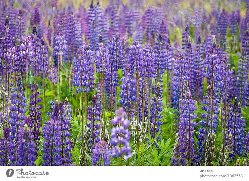Nature Plant Beautiful Summer Environment Natural Blossoming Many Violet Lupin Lupine field