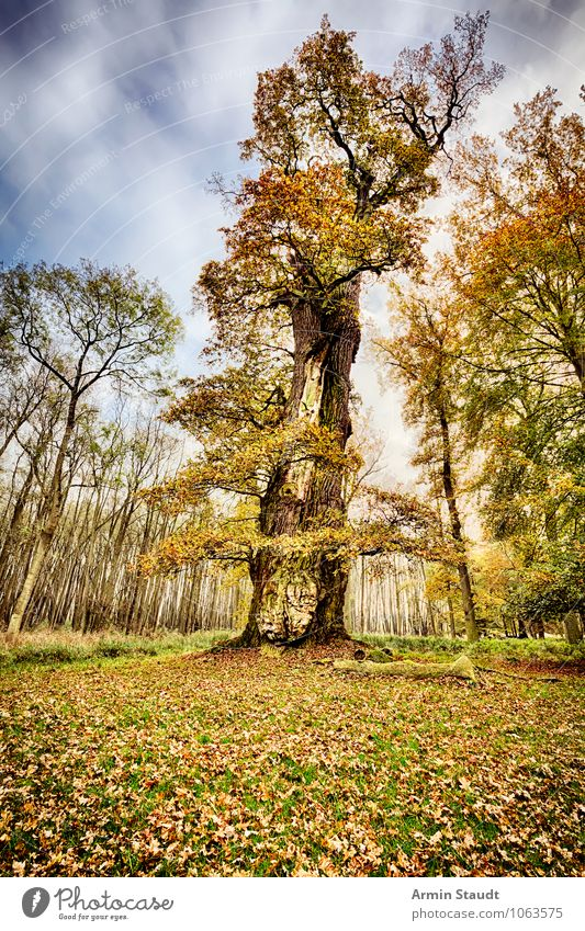 Old oak Far-off places Winter Nature Landscape Plant Earth Sky Storm clouds Autumn Climate Gale Tree Park Forest Faded To dry up Threat Dark Large Retro Moody