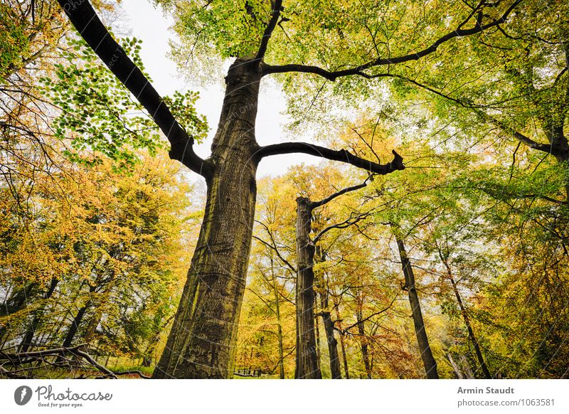 beech forest Nature Landscape Plant Cloudless sky Autumn Tree Beech tree Beech wood Branch Forest Growth Old Threat Dark Far-off places Large Natural Beautiful