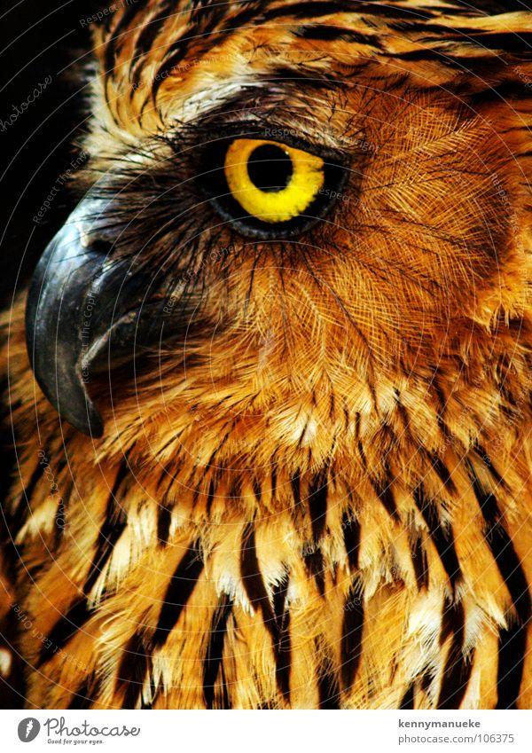 owl Yellow Close-up Bali Bird birds For Wild animal sharp predator