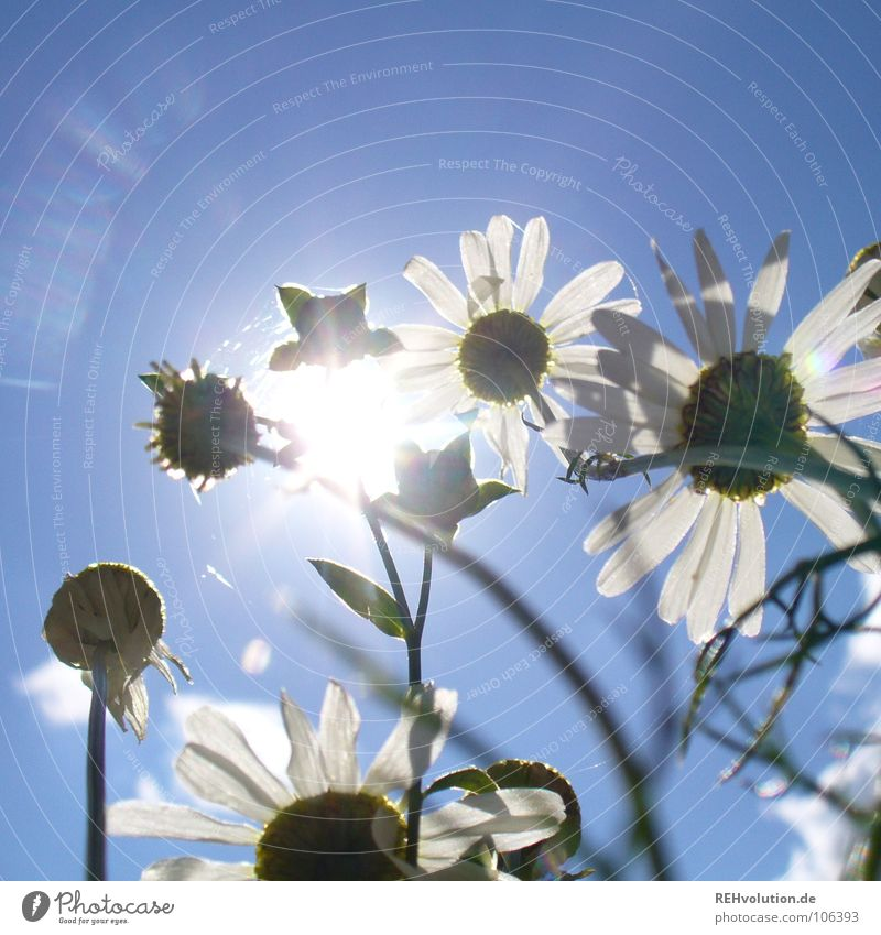 Blue White Sun Summer Meadow Above Lighting Healthy Power Tall Growth Observe Beautiful weather Blossoming Sunbathing Dazzle