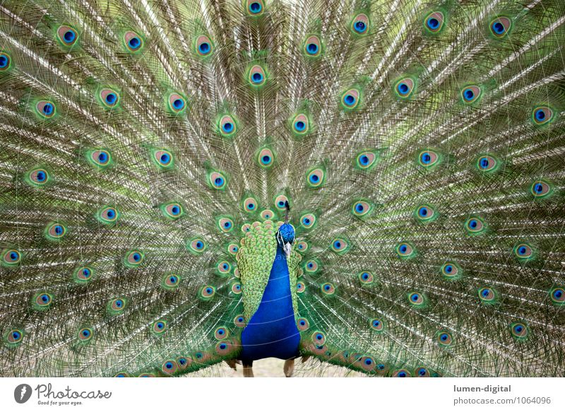 peacock Bird Peacock Peacock feather 1 Animal Rutting season Blue Green Pride peacock butterfly Berlin Image Filling feathers Feather masculine Peacock Island
