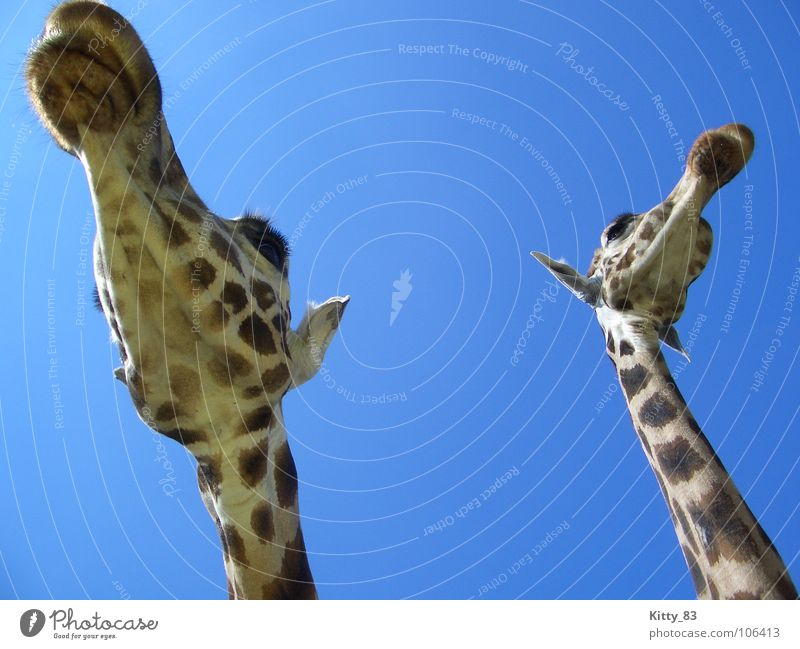 Melman and friend ;) Large Eyelash Brown Beige Serengeti Africa Beautiful Mammal Giraffe long neck Ear Sky Blue Patch Freedom Peaceful