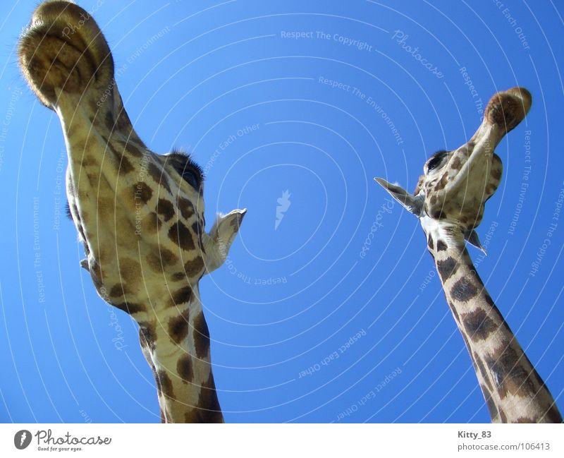 Sky Blue Beautiful Freedom Brown Large Ear Africa Patch Mammal Eyelash Tansania Beige Peaceful Giraffe Animal