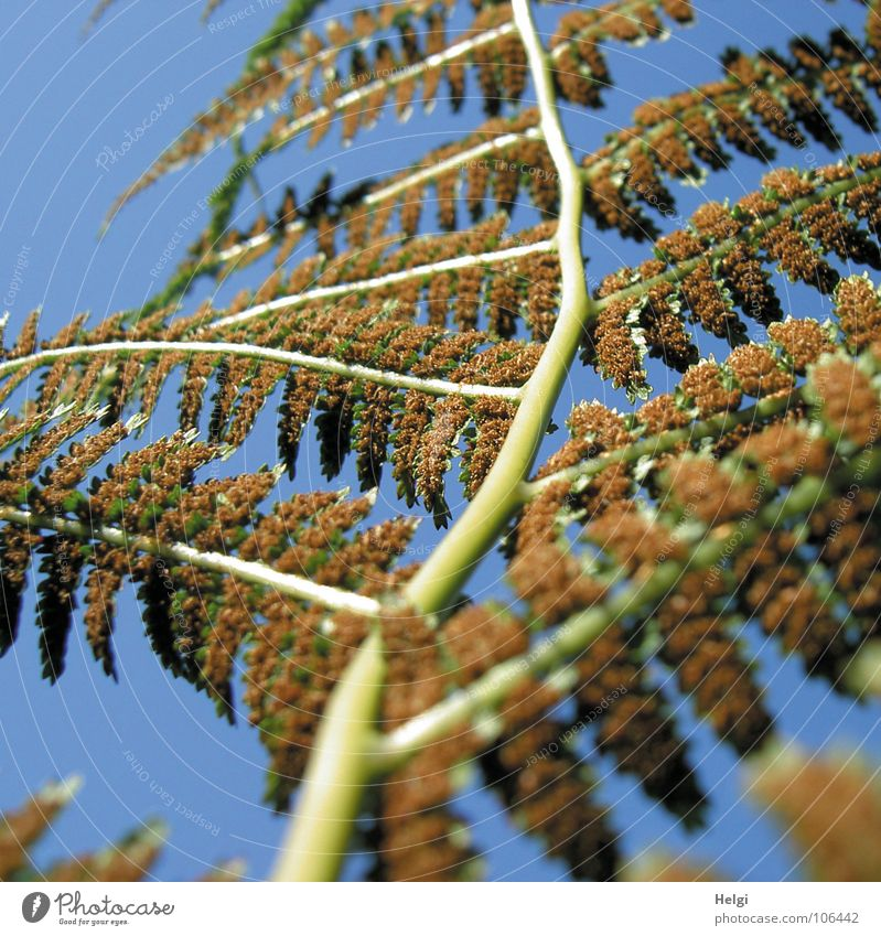 Fern... backwards Pteridopsida Green Brown Bright green Light brown Spore Branched Shade plant Medicinal plant Underside of a leaf Plant Undergrowth