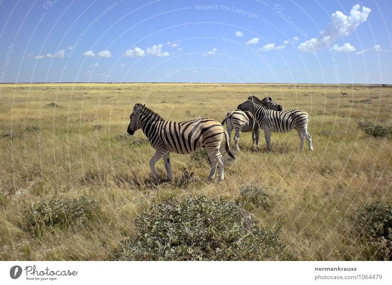 zebras Wild animal 3 Animal Looking Wait Hot Natural Peaceful Attentive Calm Attachment Zebra Quagga Stripe Africa Namibia Mammal Safari Horse National Park