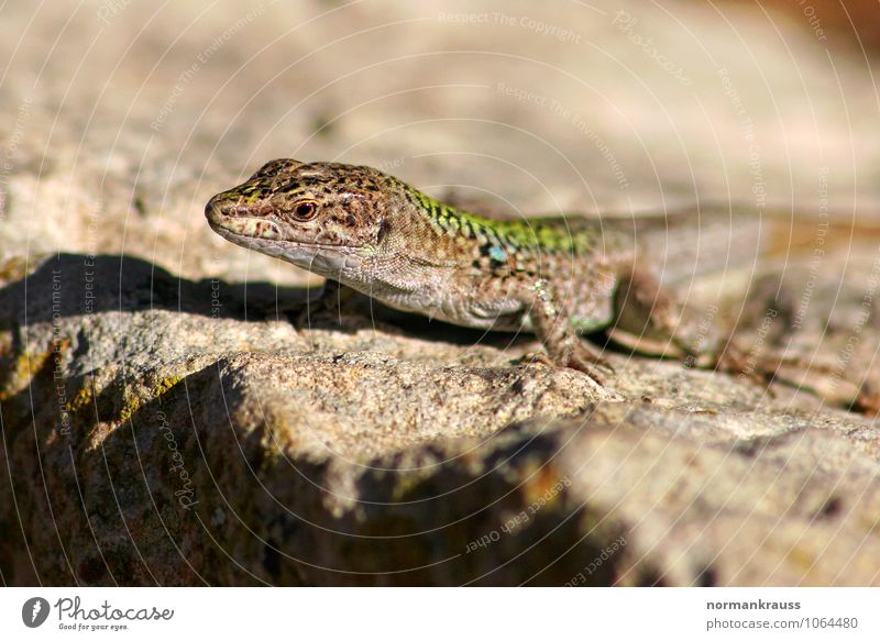 Animal Natural Wild animal Sit Wait Observe Crouch Reptiles Lizards Wall lizard