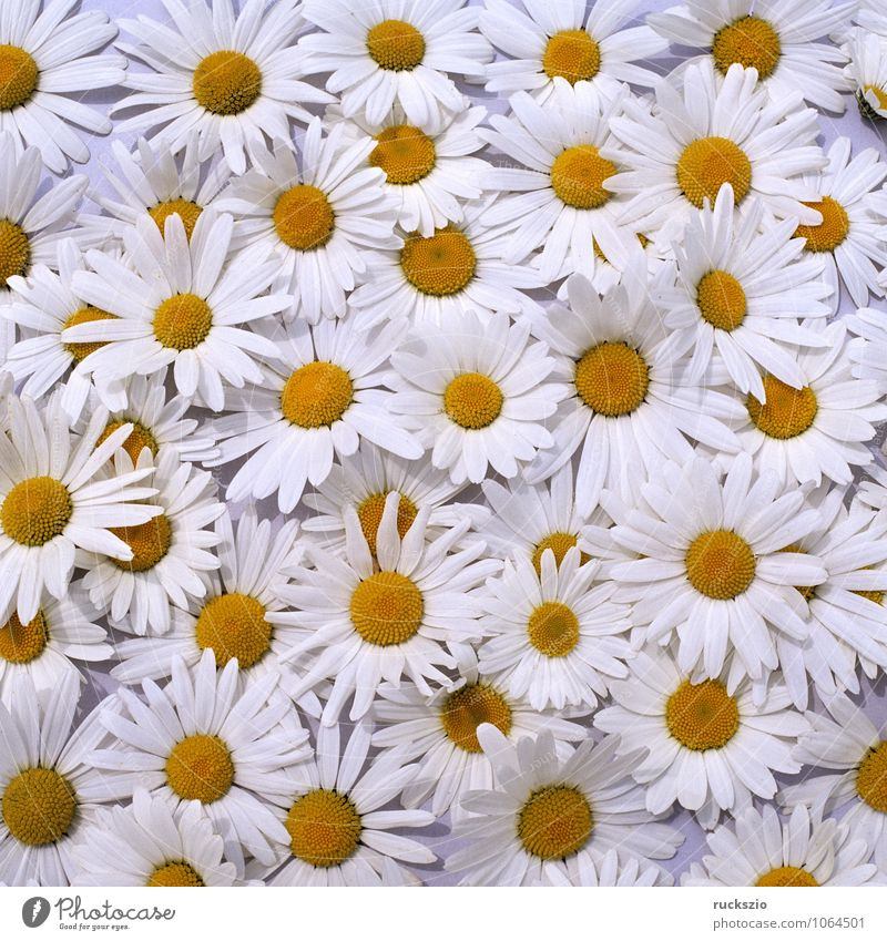 Margarites, meadow marguerites, Nature Plant Flower Meadow Free Black White Marguerite Meadow Margerite usurious meadow flower vulgar chrysanthemum leucanthemum