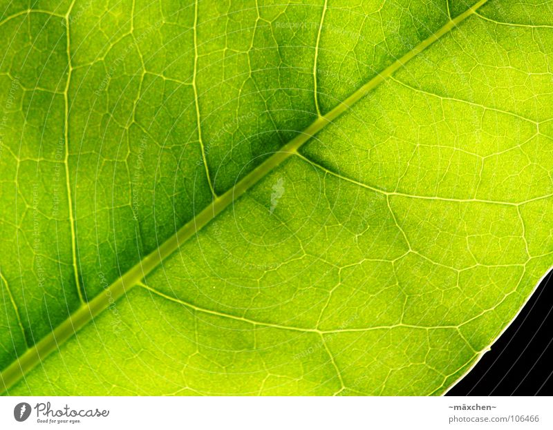 Photosynthesis I Leaf Vessel Green Grass green Illuminate Fruity Juicy Damp Plant Macro (Extreme close-up) Summer leave Life Very green no one Transparent