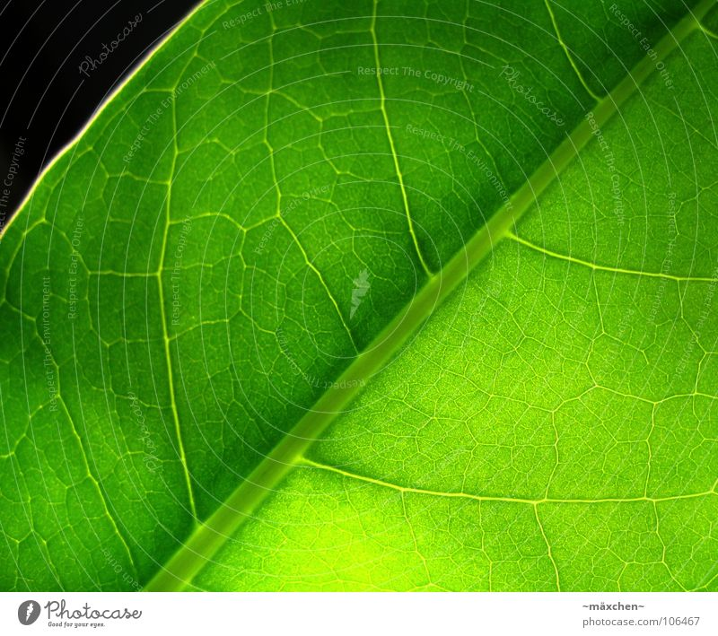 Photosynthesis II Leaf Vessel Green Grass green Illuminate Fruity Juicy Damp Plant Macro (Extreme close-up) Summer leave Life Very green no one Transparent