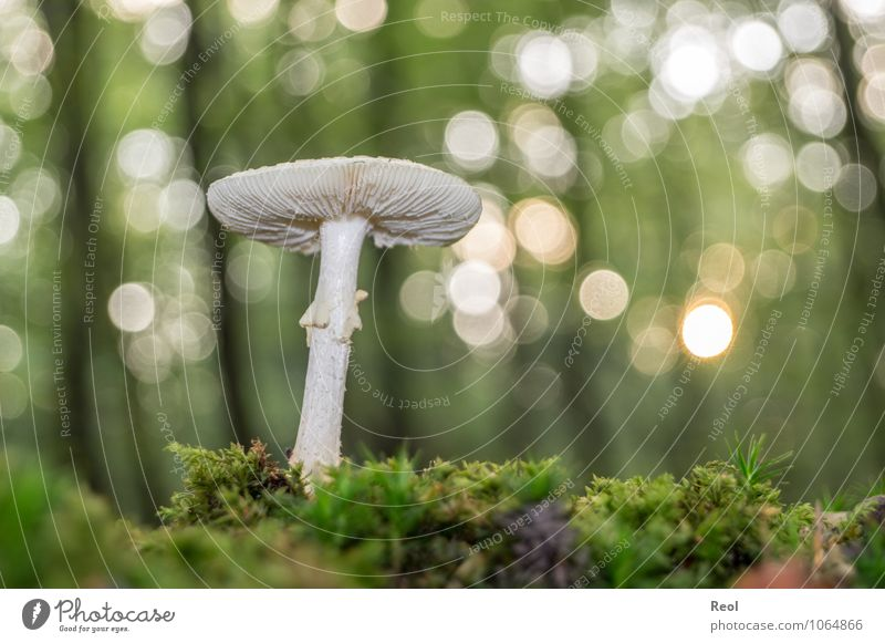 In the Moss II Environment Nature Plant Elements Earth Sunlight Autumn Beautiful weather Wild plant Mushroom Mushroom cap White Forest Glittering Growth Brown