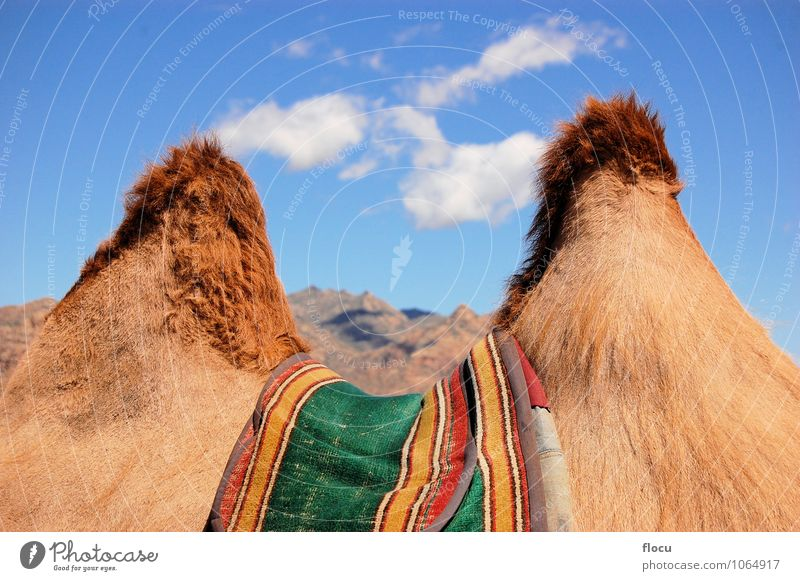 Humps of a camel in the Gobi desert Nature Vacation & Travel Summer Animal Lanes & trails Background picture Sand Horizon Adventure Asia Steppe Mobile home Rum