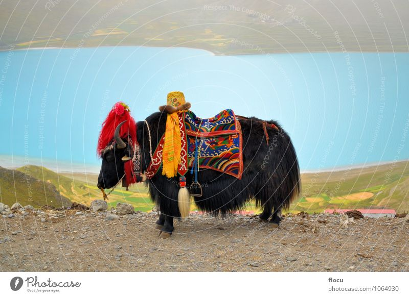Tibetan Yak at Namtso Lake near Lhasa Vacation & Travel Nature Park Tradition high landscape mountain natural snow tourism Chinese spiritual Asia China sky blue