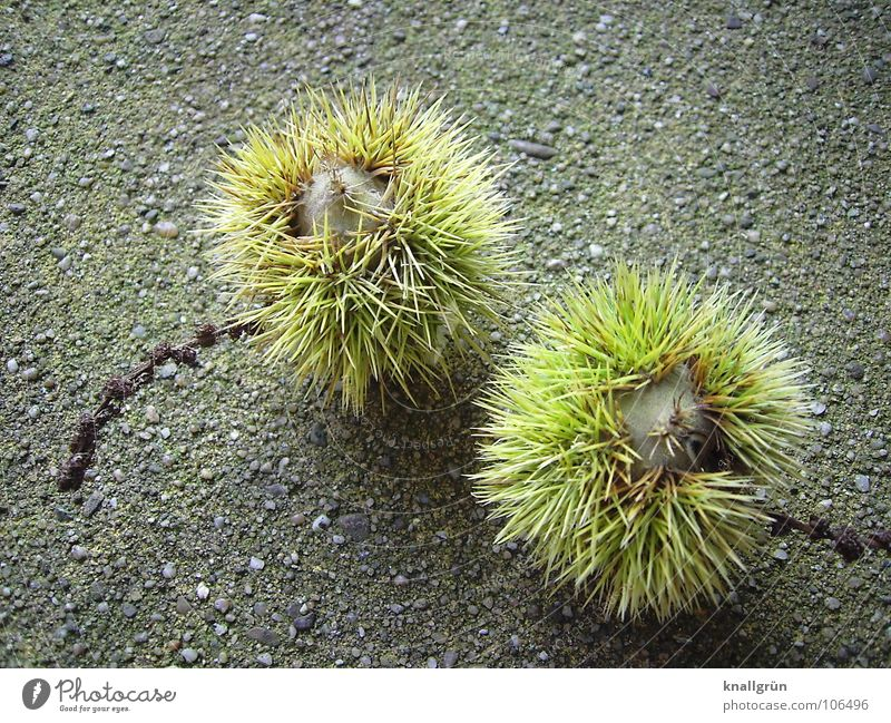 Nature Tree Green Plant Autumn Brown Bowl Thorn Sweet chestnut Edible Tree fruit