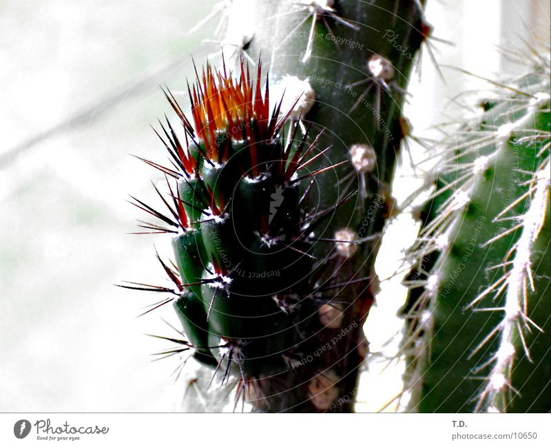 Blossom Fresh Pain Cactus Thorn