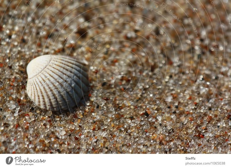 a shell in warm sand Baltic beach Baltic Sea Mussel shell Grains of sand seashore Sandy beach Beach Maritime Harmonious Calm Attentive Peaceful