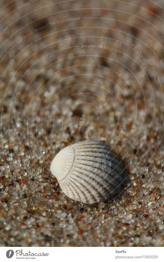 a mussel shell in warm sand at the Baltic Sea Beach Sandy beach Baltic beach Mussel Mussel shell Warm sand Grains of sand Relaxation summer idyll Summer feeling
