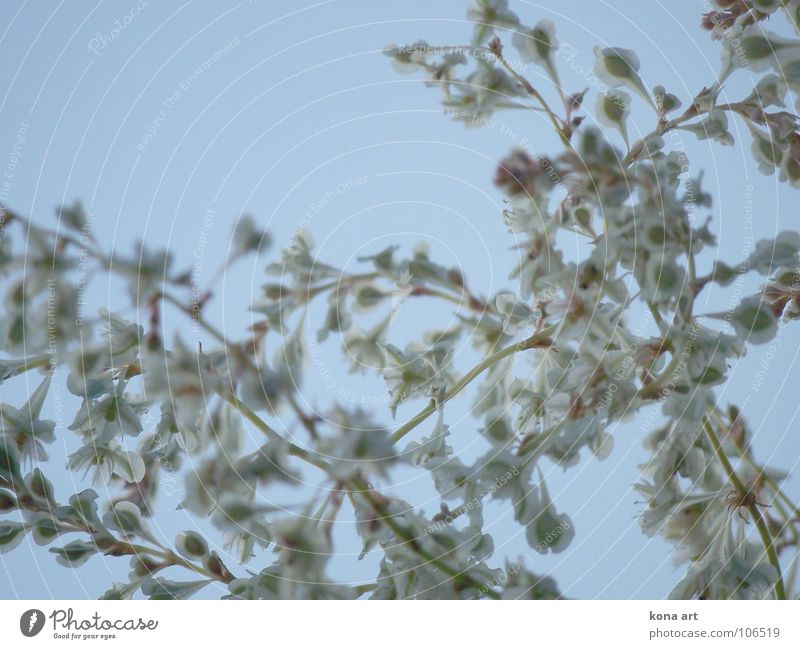 a little closer to heaven Flower Plant Green White Branchage Blossom Blur Sky blue Growth Autumn Brilliant Beautiful Delicate Graceful Blue knotweed Wild animal