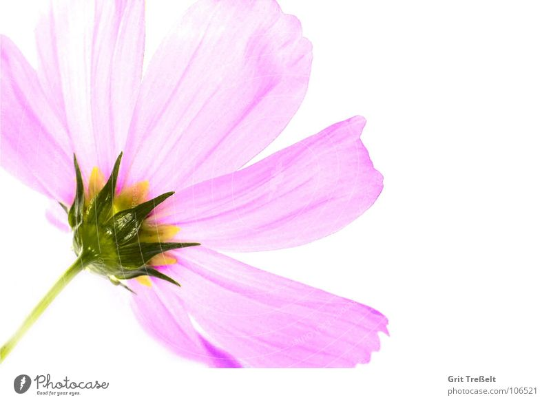 rosé Flower Blossom Pink Meadow Summer Plant Rain Macro (Extreme close-up)