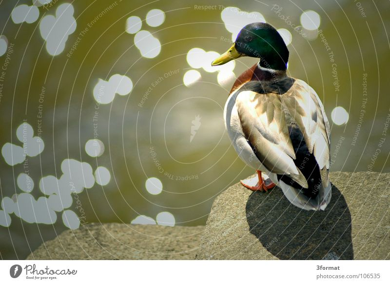 duck Drake Animal Bird Lake Body of water Pond Zoo Enclosure Feather Beak Summer Spring Nature Edge Stand Jump Beginning Duck waterfowl Water Glittering