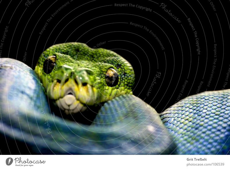 tree python Reptiles Terrarium Green Black Hang Zoo Blue Snake reptile zoo Macro (Extreme close-up)