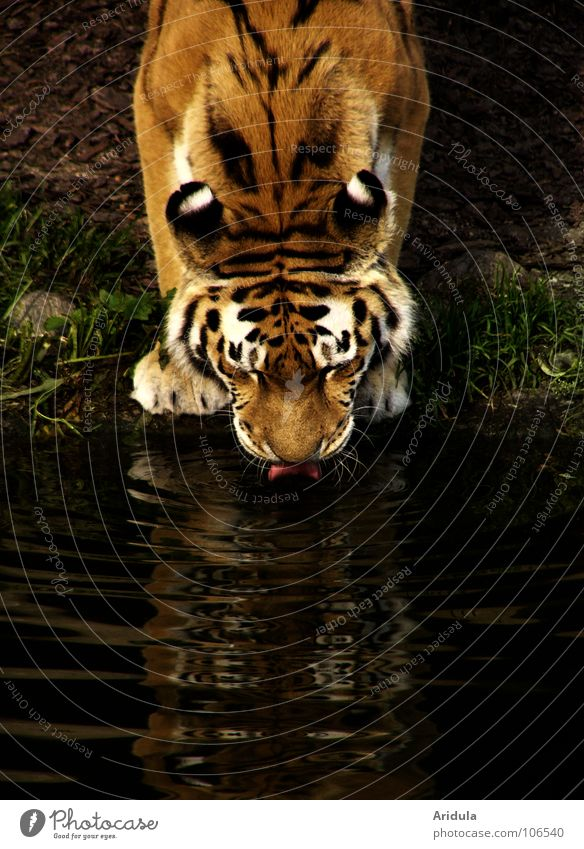 cat thirsty Tiger Cat Drinking Safari Zoo Asia Stripe Animal Mirror Surface of water Mammal Power Force Water Tongue Wild animal Coast Thirst