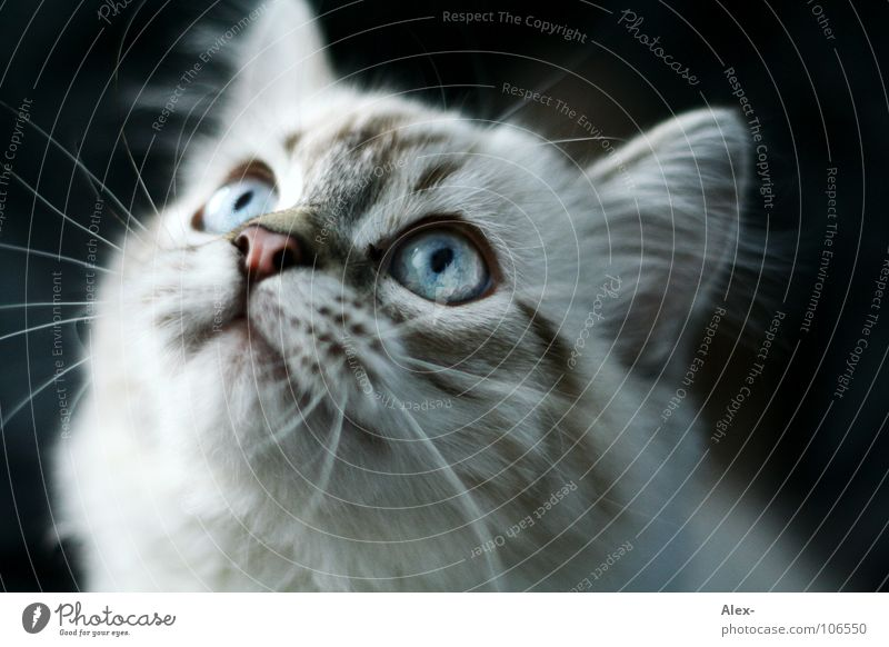 hypnosis Cat Gray Pelt Listening Aim Sweet Cute Concentrate Mammal bitch Hair and hairstyles mustached snort Blue blue eyes Ear Observe Looking anti-dog Eyes