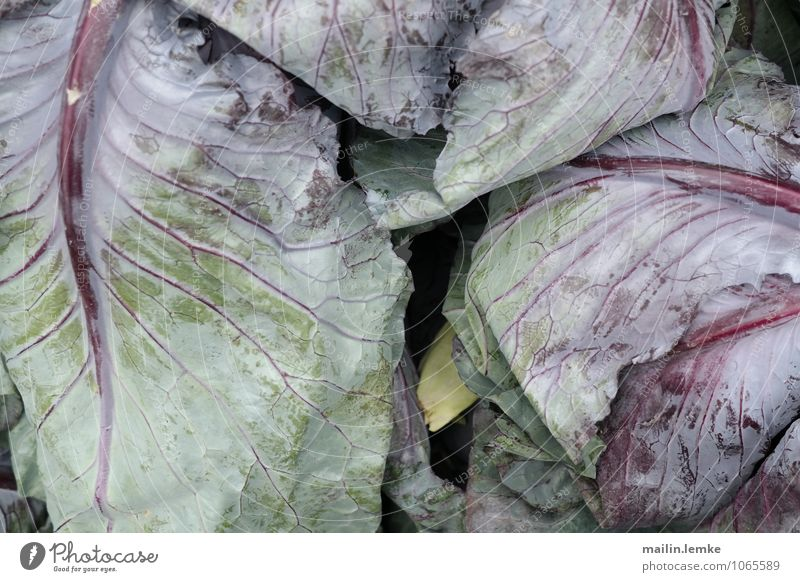 Cabbage 2 Leaf Foliage plant Agricultural crop Fresh Healthy Multicoloured Green Violet Colour photo Exterior shot Close-up Detail Macro (Extreme close-up)