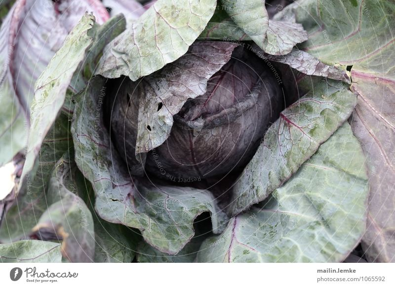 Cabbage 1 Plant Leaf Foliage plant Agricultural crop Fresh Healthy Green Violet Colour photo Multicoloured Close-up Shallow depth of field