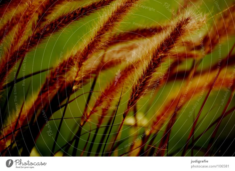 Green Beautiful Red Plant Colour Yellow Meadow Grass Glittering Soft Delicate Pasture Stalk Blade of grass Smooth Flexible
