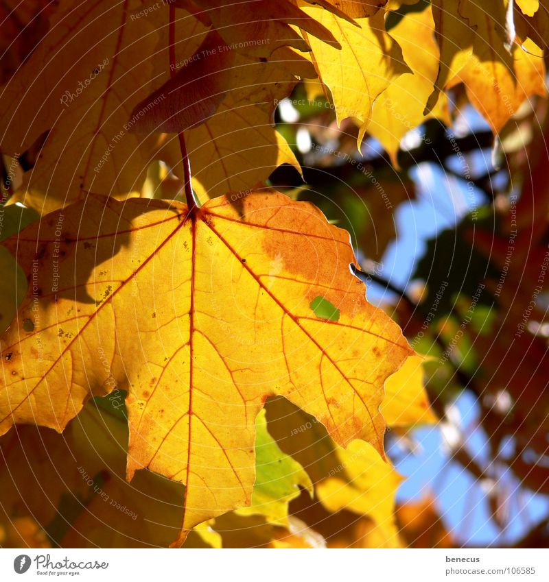 Blue Old Tree Summer Leaf Yellow Life Autumn Bright Lighting Moody Orange Transience To fall Twig Autumn leaves