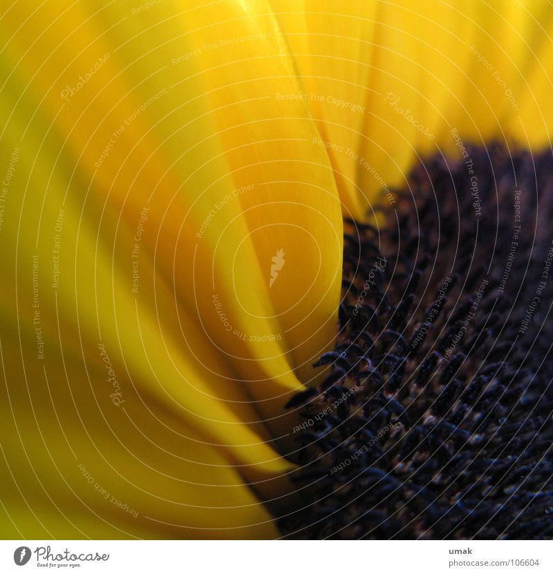 Black Yellow Autumn Blossom Sunflower Indian Summer